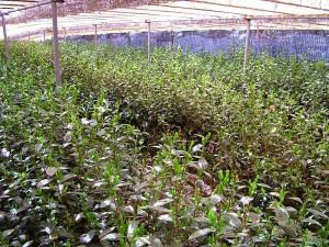 Beschatten von Teepflanzen für Gyokuro