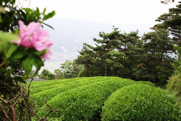 Teefelder in Uji
