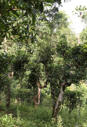 Teebaum, Camellia sinensis var Assamica