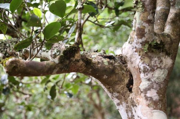 Teebäume