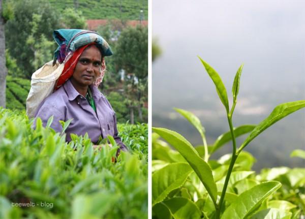 Tee aus Nilgiri