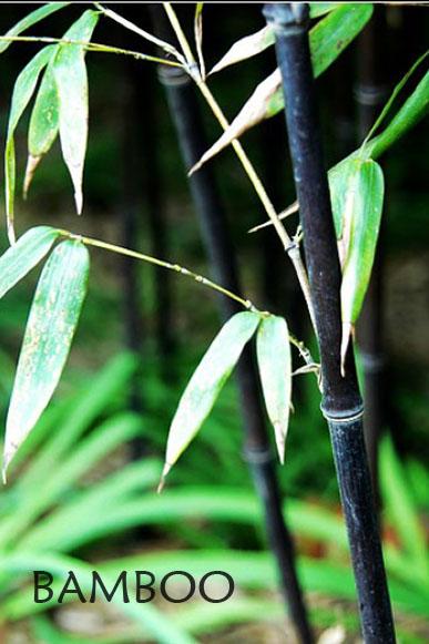 Bambus Dunkel