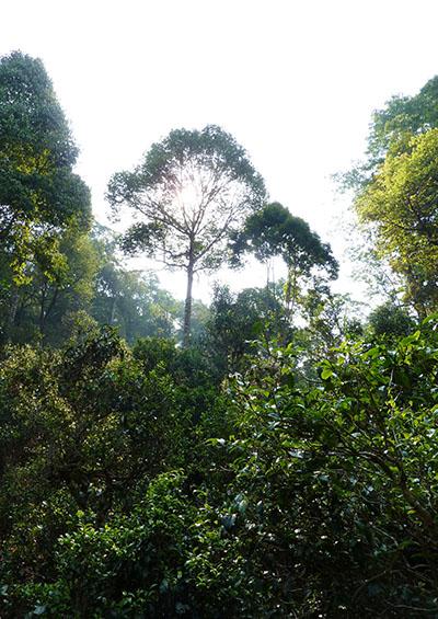 Wälder von Jingmai