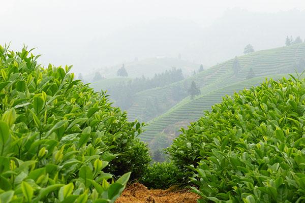 Teefelder in Wuyi Mountains