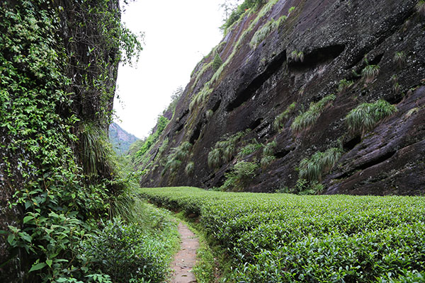 Teefelder in Wuyi