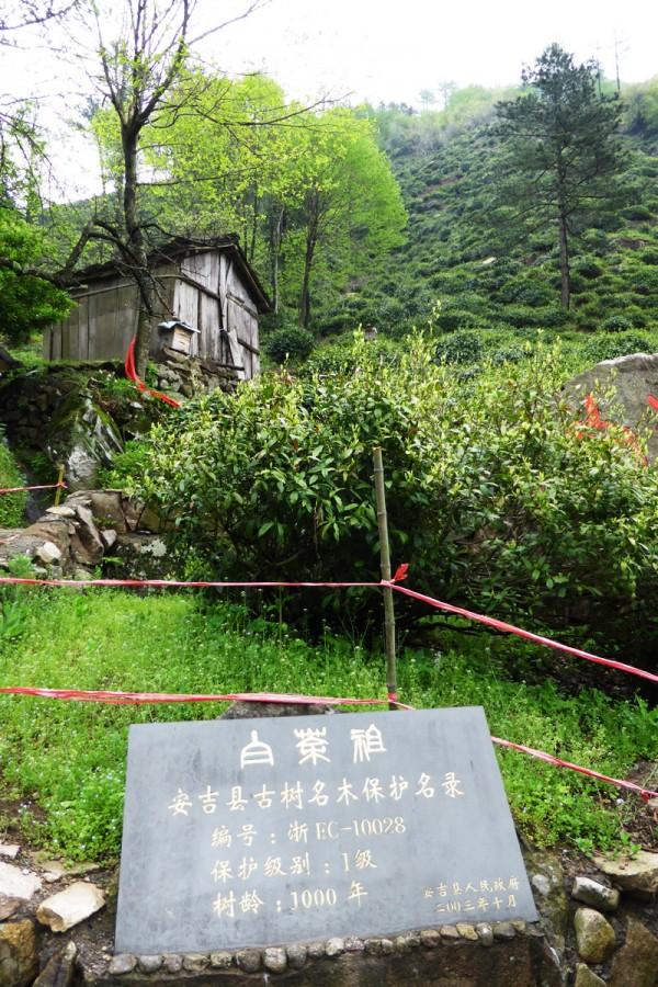Mutter Pflanze An Ji Bai Cha
