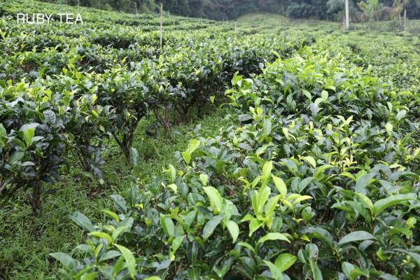Teegarten Ruby Tee