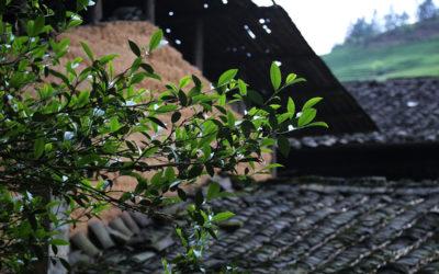 Jin Jun Mei – der Teuerste Tee Chinas
